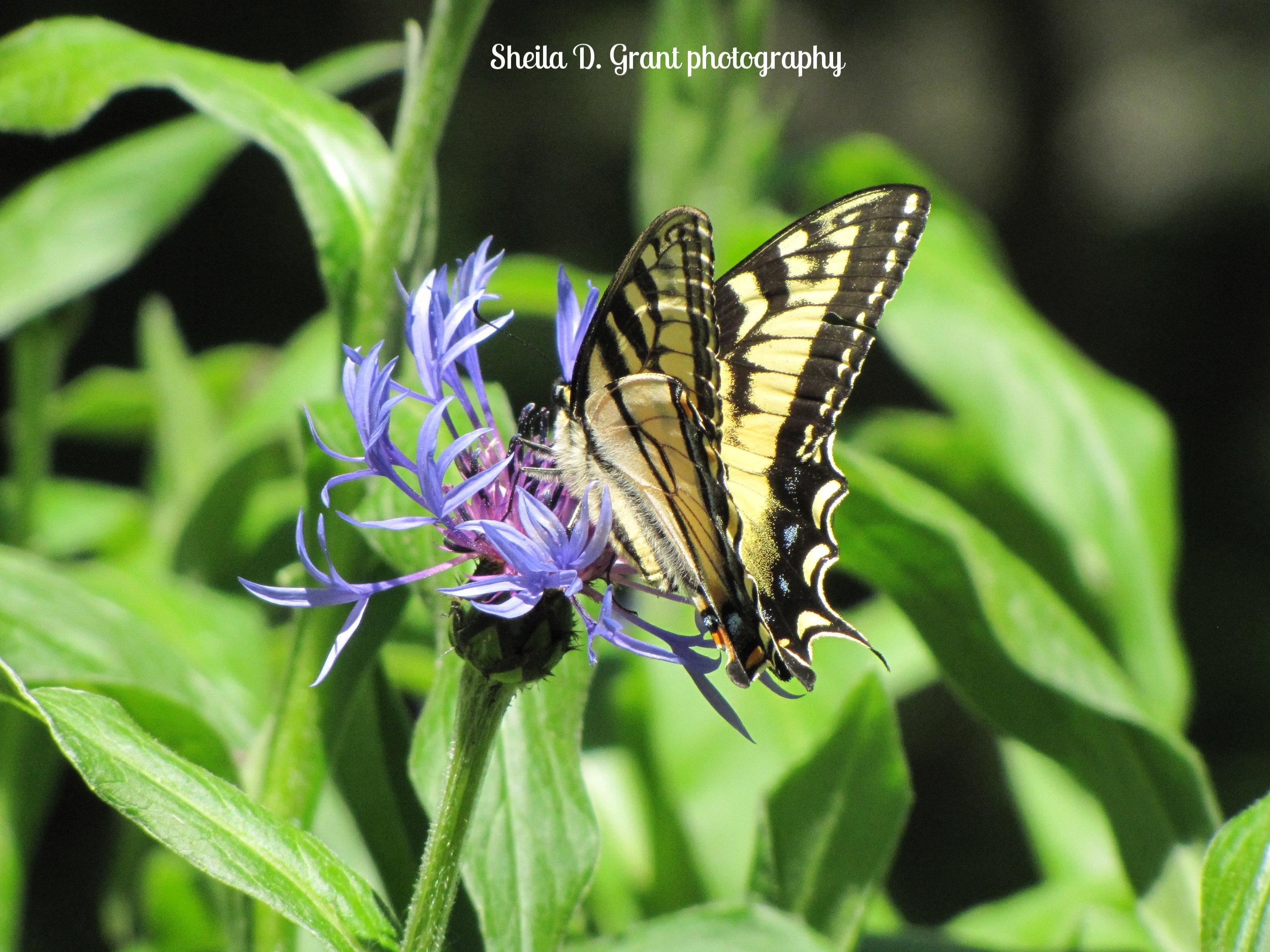 Butterfly on Bee Balm.JPG