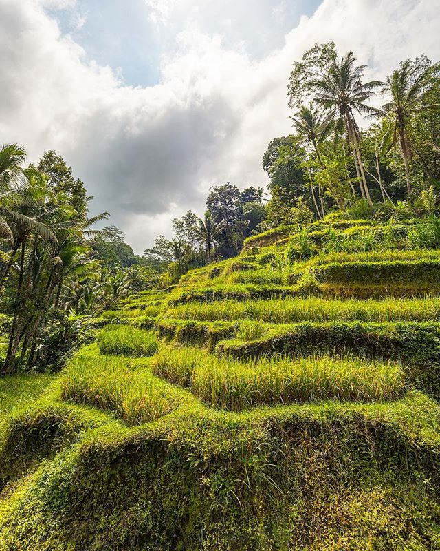 After taking some time out and putting the camera down I headed over to Ubud to photograph the rice terraces. • • • #landscapephotography#majestic_earth #thevisualscollective #landscape_hunters #fantastic_earthpix #awesomeglobe #NikonEurope #BenroLetsGo #mthrworld #wonderfulplaces #ig_world_colours #killershots #exclusive_earth #ourplanetdaily #liveforthestory #ig_fotogrammers #uk_greatshots #longexpoelite #hubs_united #soft_vision #master_gallery #purplepassport #ig_masterpiece #ig_exquisite #adventuretillwedie #globeshotz #ig_sunrisesunset #photographyig #Lightmob #UniqueDistrict