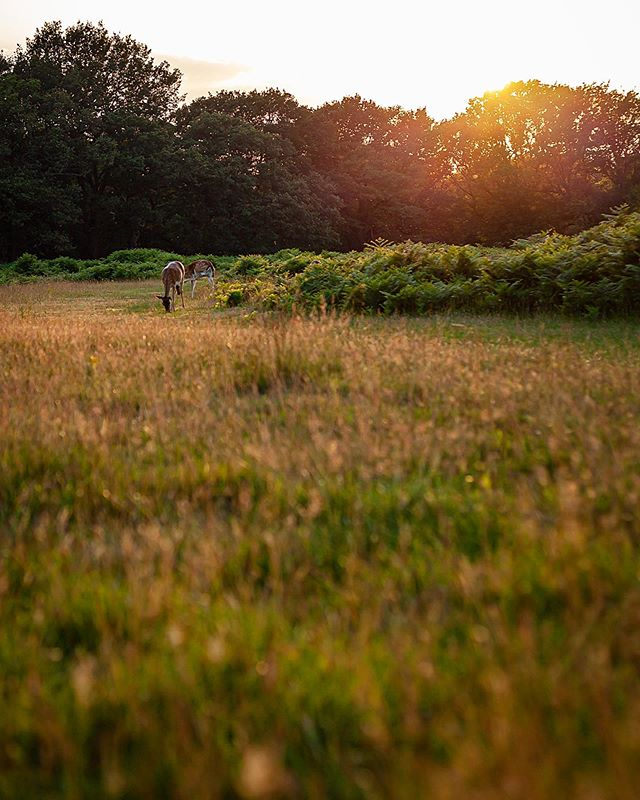 So after being awol for almost a year I've finally picked up the camera again, started things off with a trip to Richmond Park for some golden hour magic