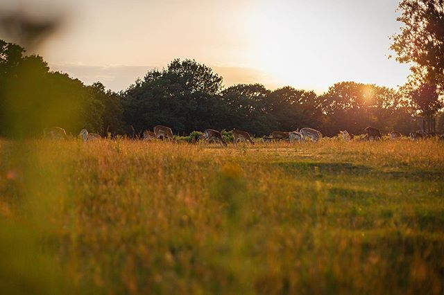 You really can't beat that golden light in Richmond Park