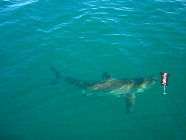 greatwhiteshark-lindsaylewis.jpg