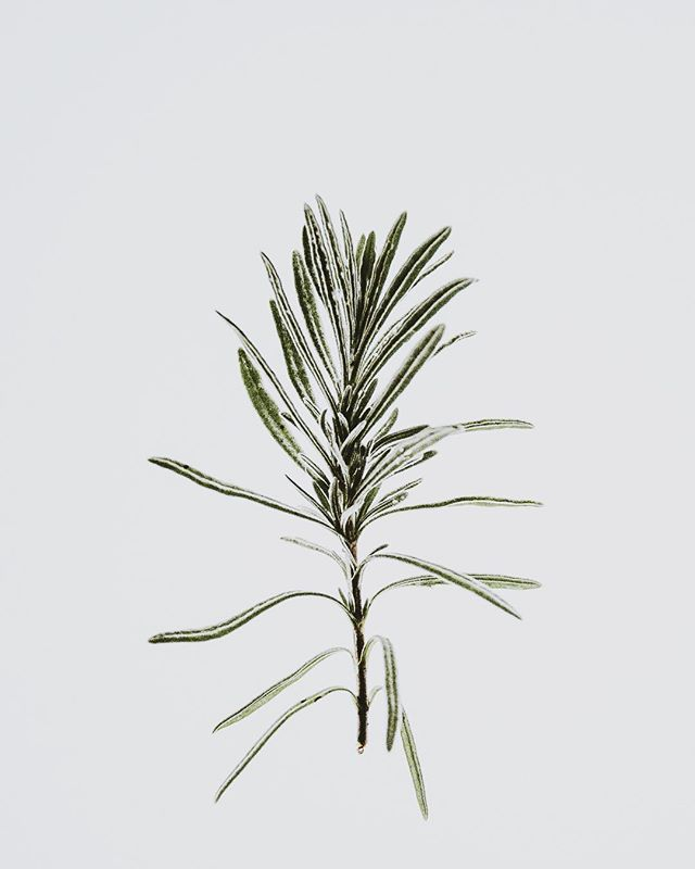 Rosemary 🌱 one of our essential oils used to make the signature scent so yummy. Technically part of the mint family, this woody evergreen contains antibacterial properties perfect for keeping your natural scent in check. It also tastes next level. . . . . #daoe #daoecosmetics #daoesignature #naturaldeodorant #naturalluxury #essentialoils #rosemary #deodorant