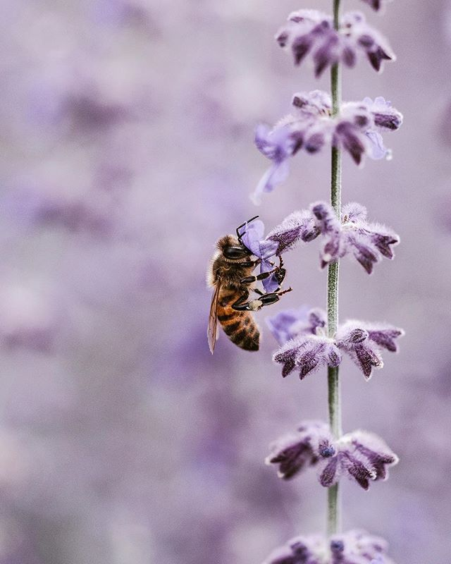 Lavender 🦄 another one of the essential oils used to make Signature Scent. Not only does it reduce anxiety, it improves sleep and brain function! Naturally antibacterial and antioxidant it's benefits have been enjoyed by humans and animals alike for millennia! Plus it's beaut AF and our Bee friends love it 🐝 . . . . #daoe #daoecosmetics #naturaldeodorant #naturalluxury #essentialoils #lavender #savethebees #vegandeodorant #saynotochemicals #growlavender