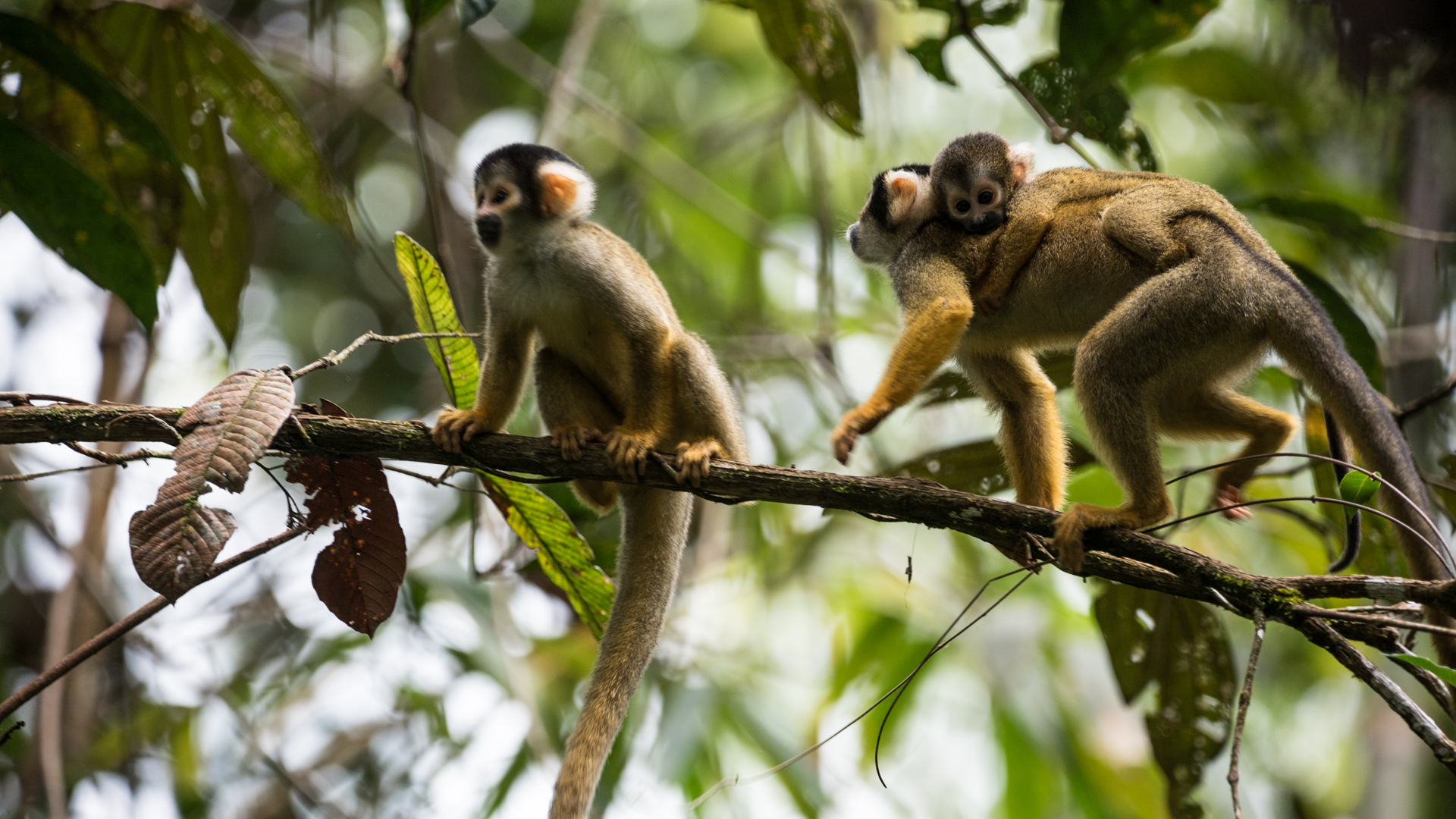 squirrel-monkeys-jone-troconis-08869.jpg