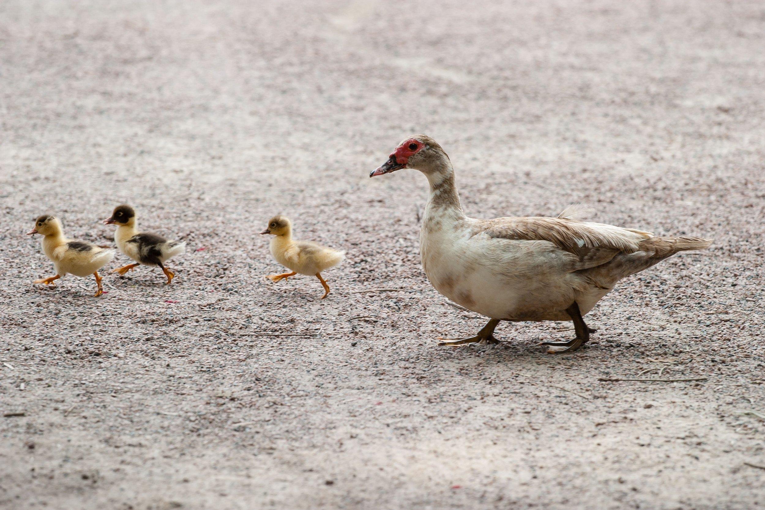 animals-cute-ducks-64225.jpg