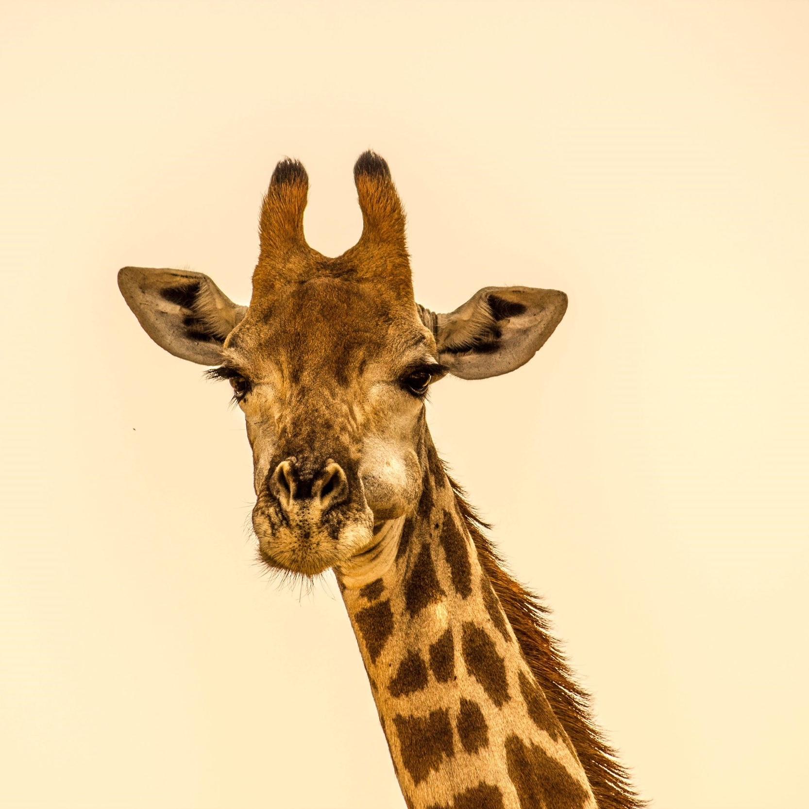 Maßgeschneiderte Safaris - Da wir ein kleines Familienunternehmen sind, sind wir in der Lage ganz persönlich auf Ihre Bedürfnisse und Interessen einzugehen. Alle unsere Safarirouten sind individuell zusammengestellt und der spezifischen Jahreszeit angepasst, um für optimale Pirschfahrten zu sorgen. Sie werden Ihre Safari aber vollkommen Ihren eigenen Wünschen anpassen können, basierend auf Ihren persönlichen Reisepräferenzen und -interessen. Wir werden Sie tief in die isolierte Wildnis führen wo andere Safarianbieter, die abgepackte Safaris anbieten, nicht hingehen. Keine gemischten Gruppen, kein Kampf um den besten Sitzplatz und die beste Aussicht, und keine gegensätzlichen Interessen. Mit SABABU SAFARIS genießen Sie die Vorzüge eines privaten, speziell ausgestatteten 4x4 Toyota Land Cruisers mit aufklappbarem Dach, exklusiv nur für Sie: maximale Flexibilität, Komfort und optimale Pirschfahrten!
