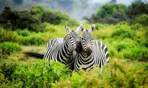 Sababu_Safaris_ArushaNationalPark_500x300px.jpg