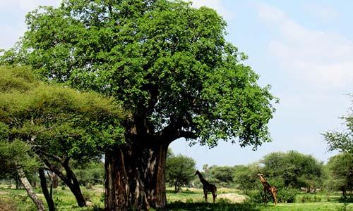 Sababu_Safaris_Baobab_500x300px.jpg