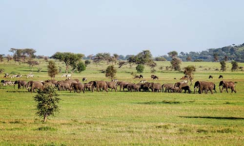 Sababu_Safaris_CentralSerengeti_Elephants_500X300px.jpg