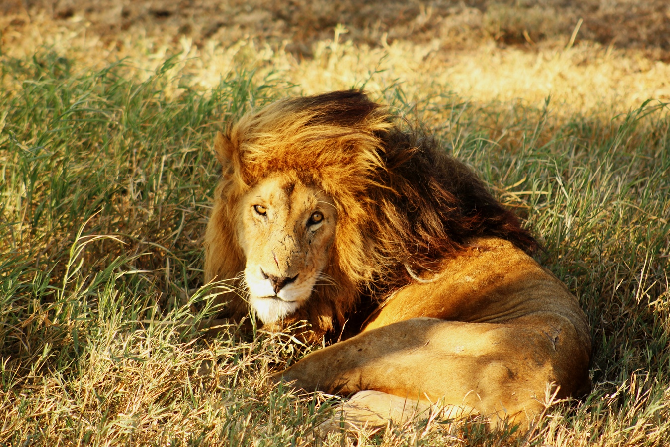 Sababu_Safaris_lion.JPG