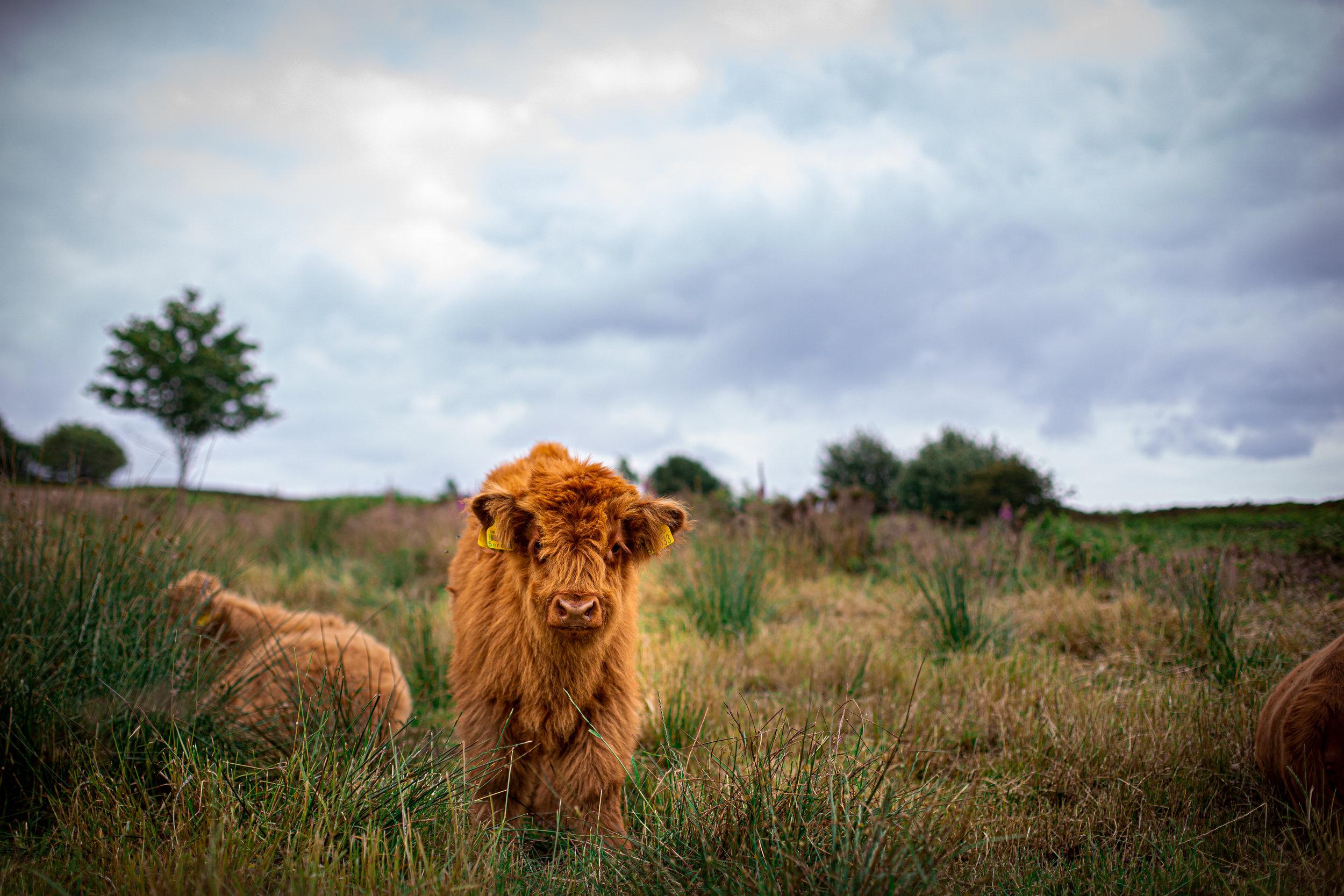 Cows-65.jpg