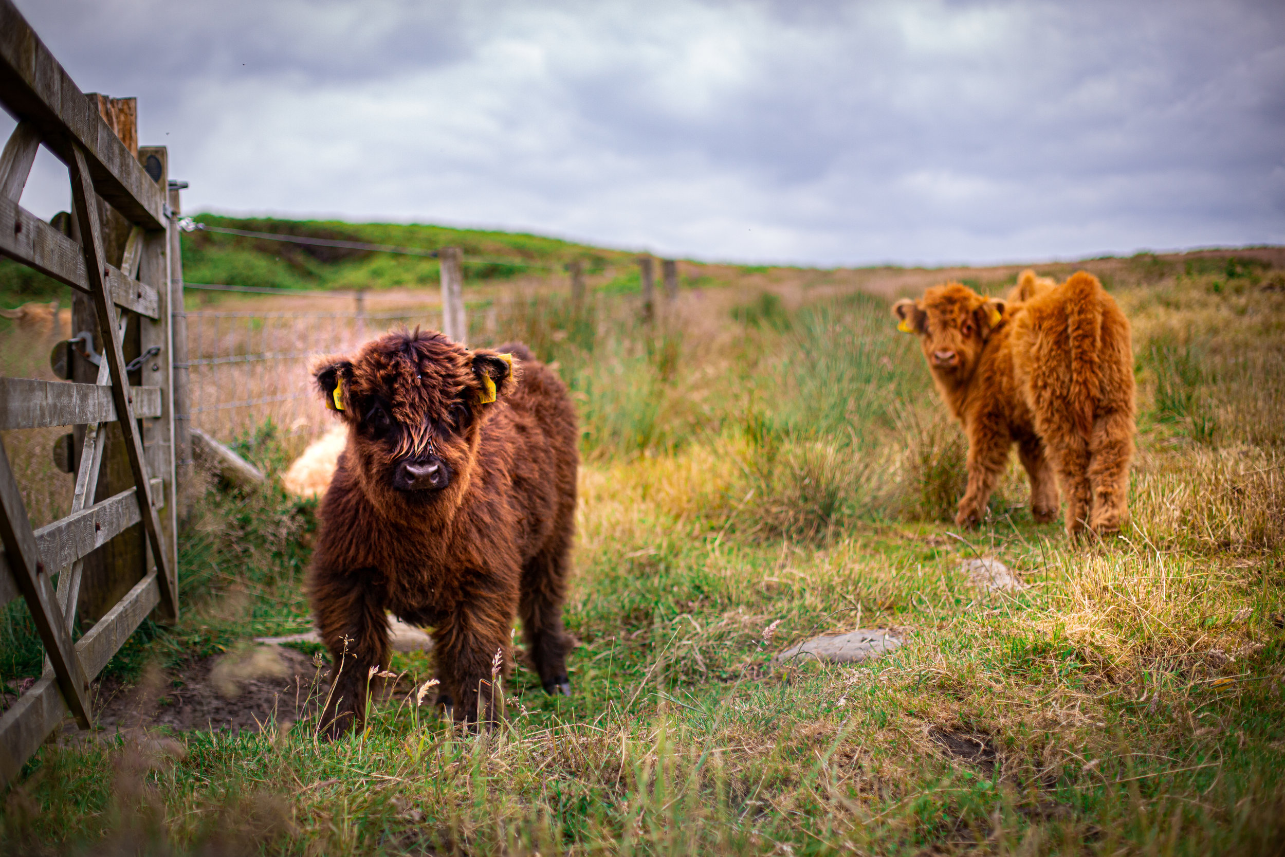 Cows-17.jpg