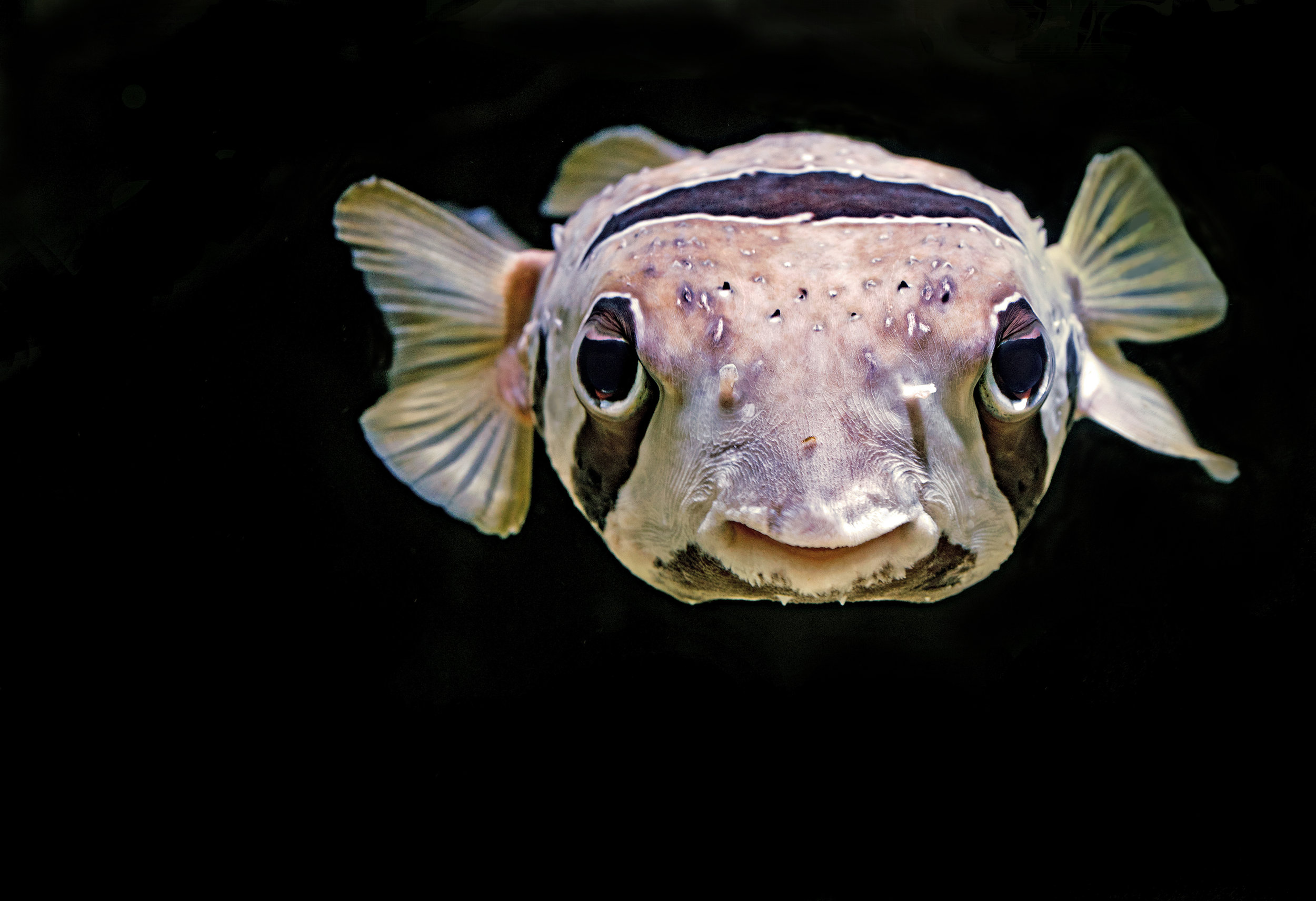 Image of a black-blotched porcupinefish. Credit:  David Clode/Unsplash