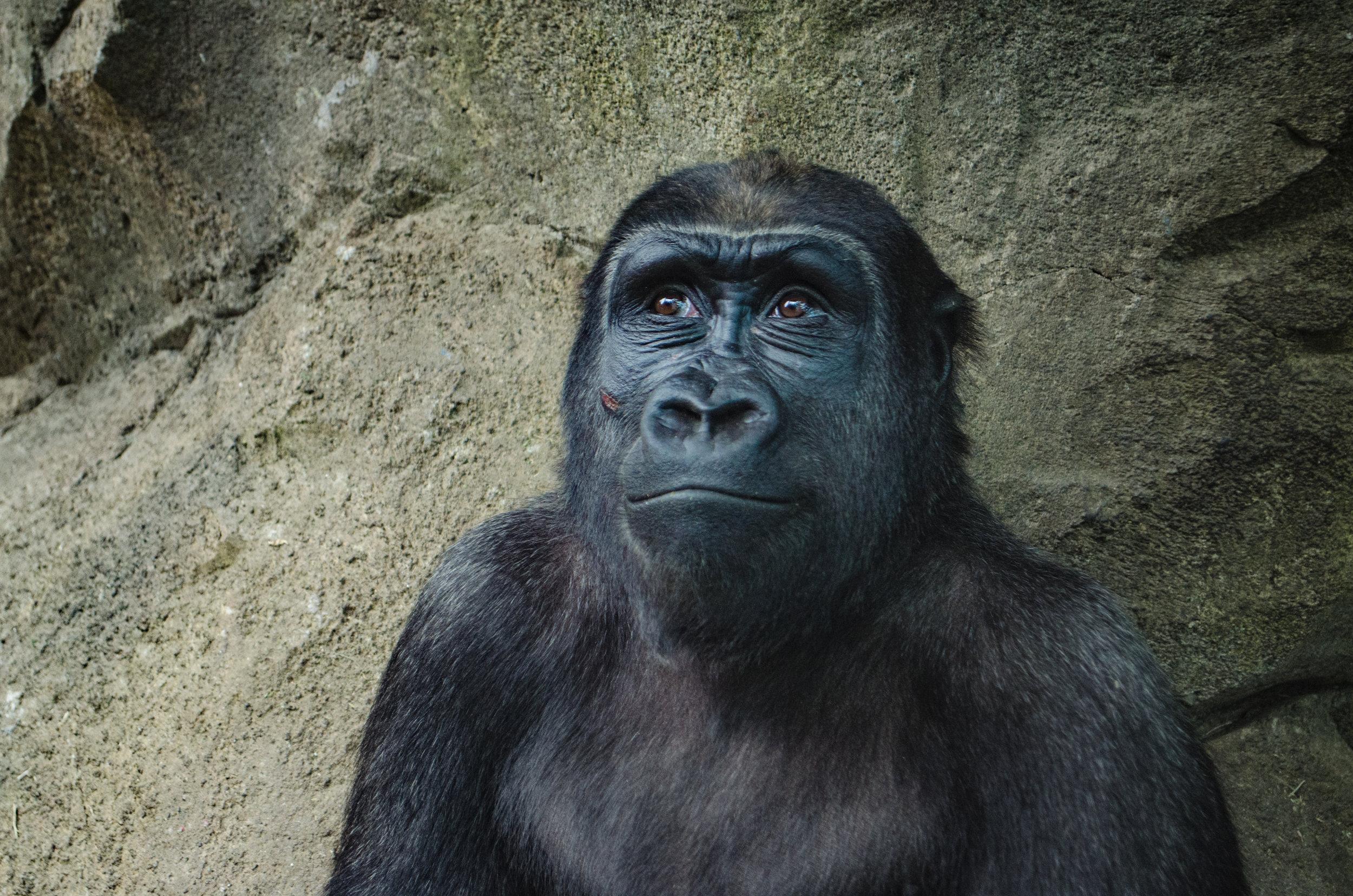 Image of a black gorilla. Credit: Kelly Sikkema/Unsplash