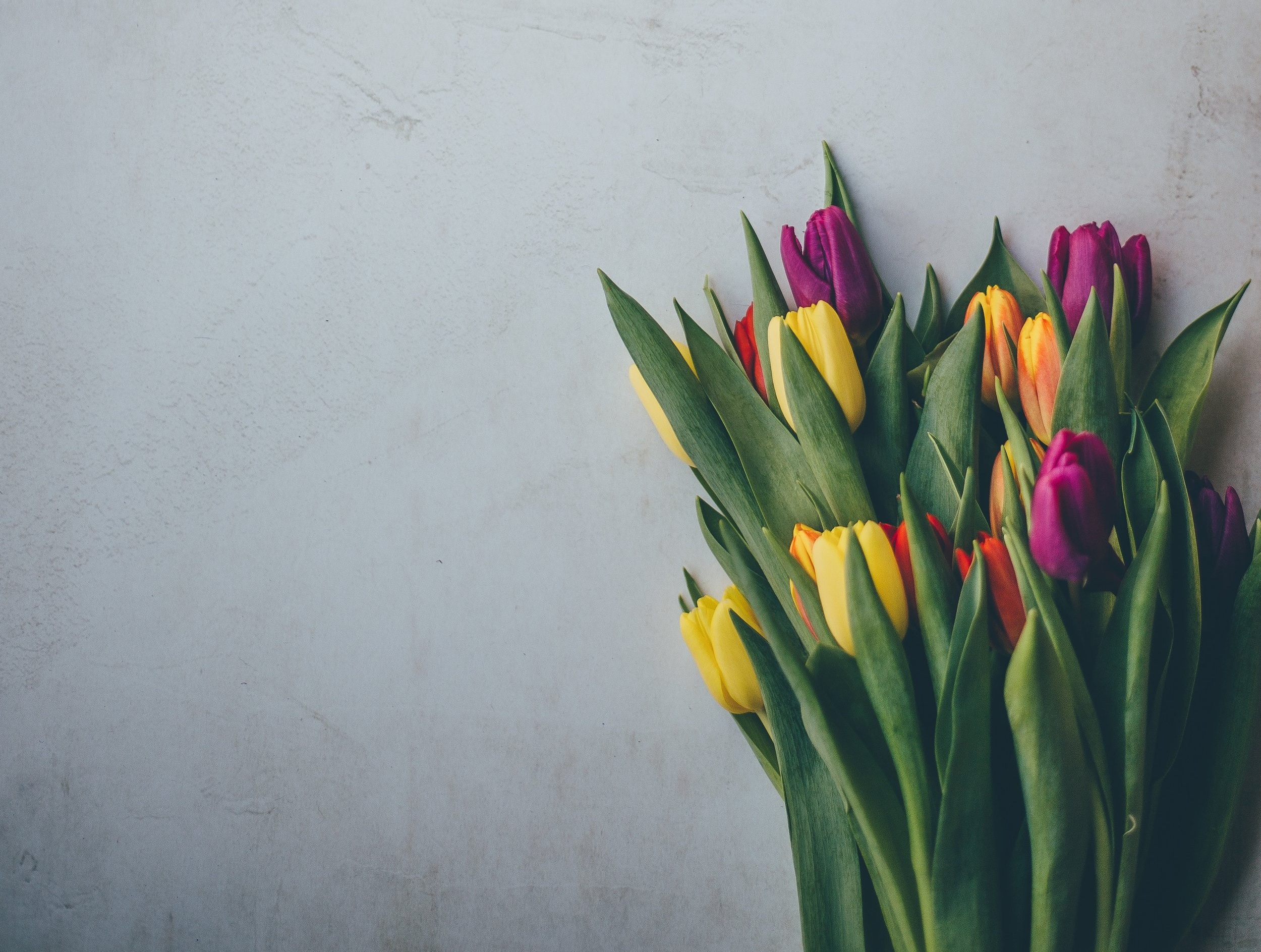 Pink+and+yellow+tulips+against+a+plain+wall