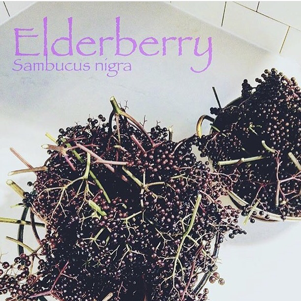 Sambucus Nigra (known by the common name of Black Elderberry)