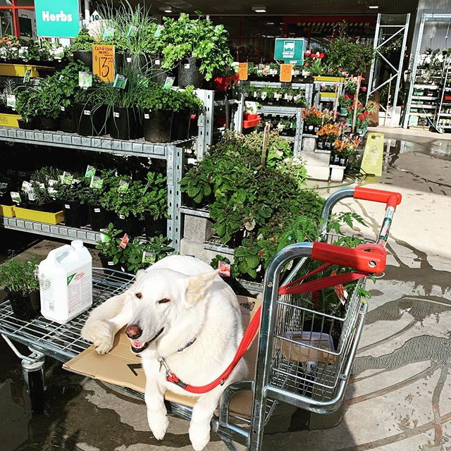 "Fast becoming a ""regular "" at our local Bunnings... ""all pats welcome ""!!! 😀 #boutiqueaccomodation #tamarvalleytasmania #dogsofinstagram #dogsofbunnings #hangingwithmyfav #mondaymorningfeels"