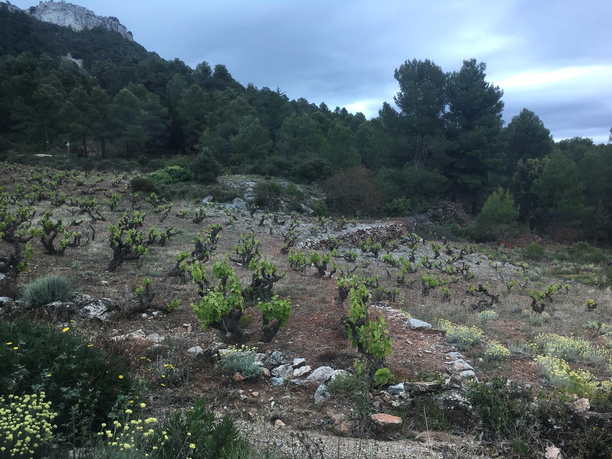 vineyards in Montsant