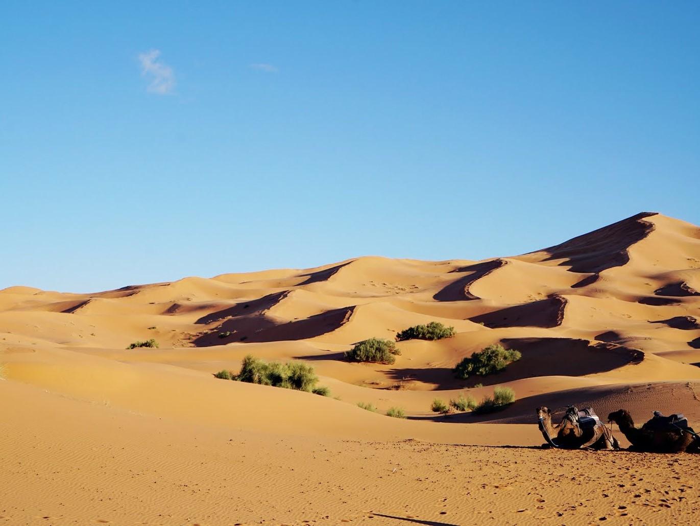 desert camels.jpg
