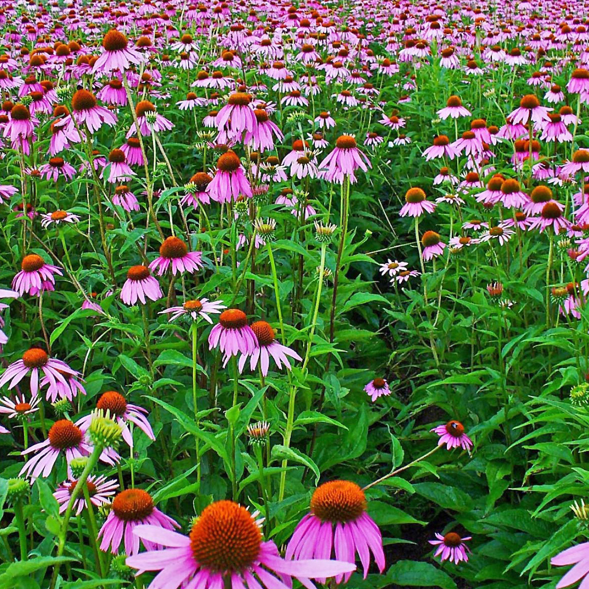 Echinacea<strong>Echinacea is a plant with medicinal properties, prevents skin diseases, has moisturizing properties and improves the manageability of the hair.</strong>