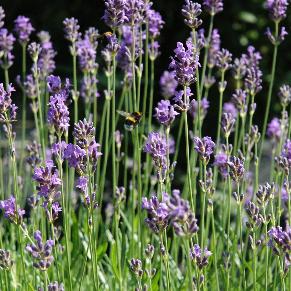 Lavender<strong>Lavender is a rich emollient that helps calm and soothe hair fiber.</strong>