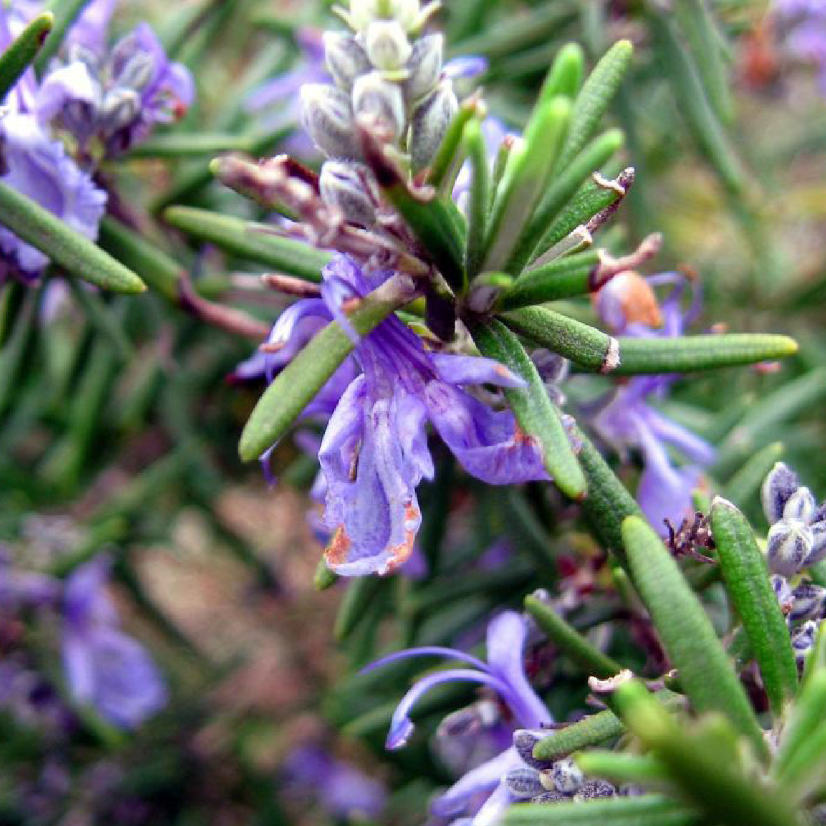 Rosemary<strong>Rosemary mint possesses natural invigorating effects on the scalp.</strong>
