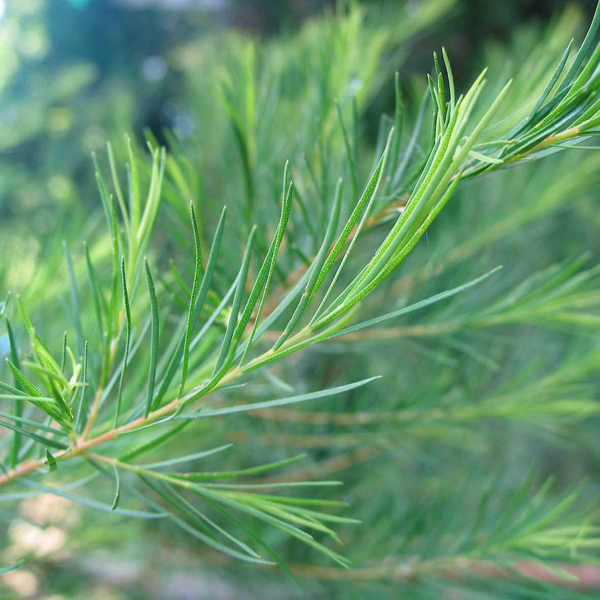 Tea tree<strong>Tea tree is used for its medicinal and healing benefits as well as its hair detoxifying ans cleansing properties.</strong>