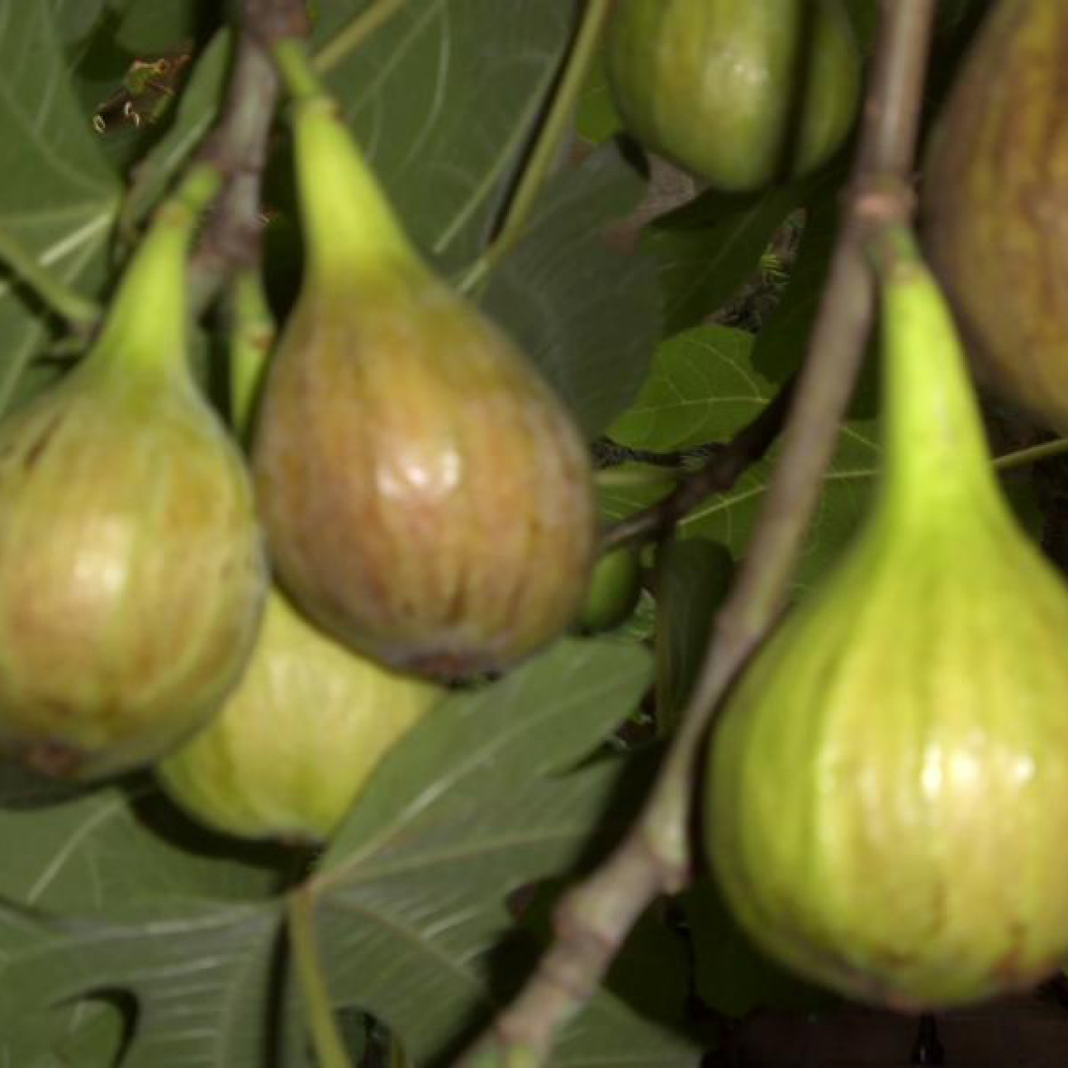 Fig<strong>Fig is rich in antioxidants possessing healing and anti-aging qualities.</strong>