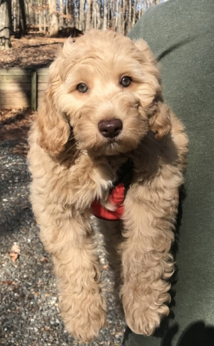 Jax is a Multigenerational Australian Labradoodles with a fleece coat.