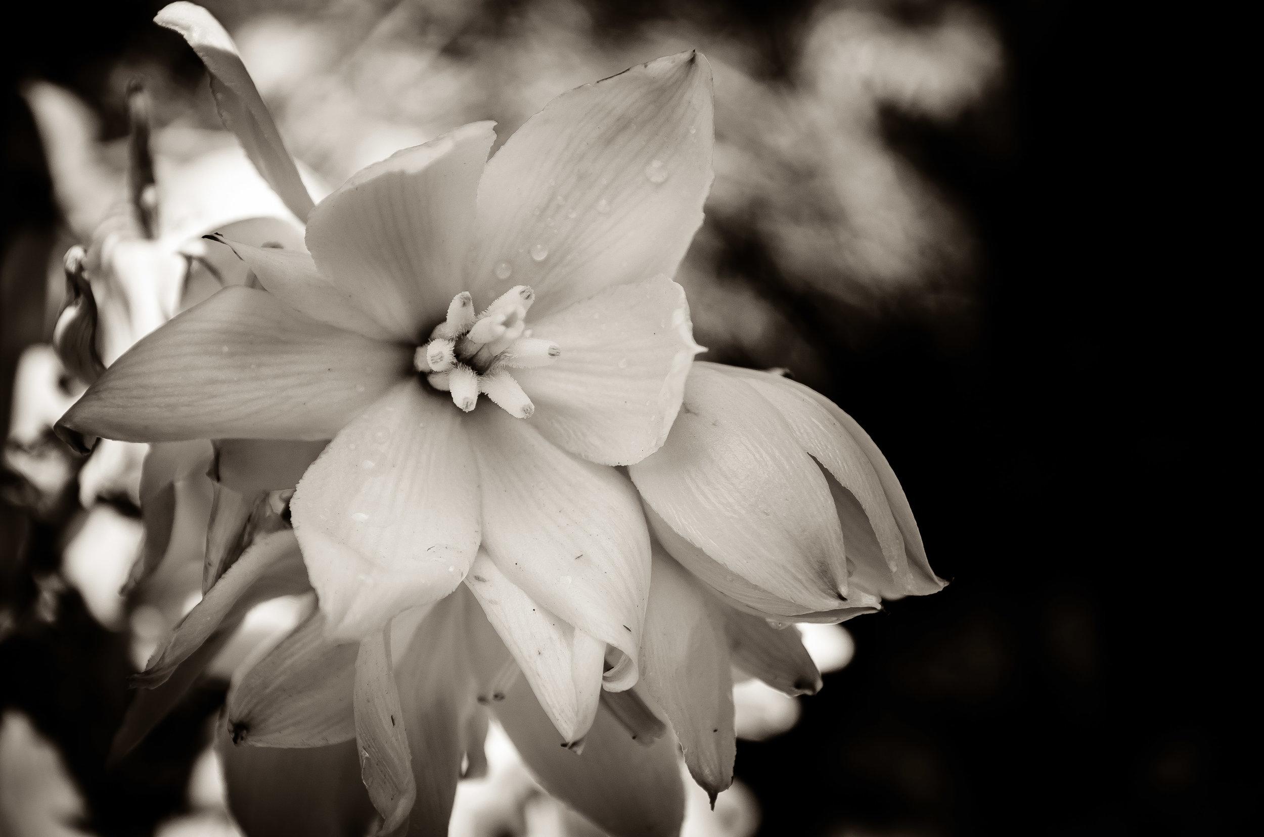 Spring Yucca Bloom Digital Photograph © 2015 SuZan Alexander
