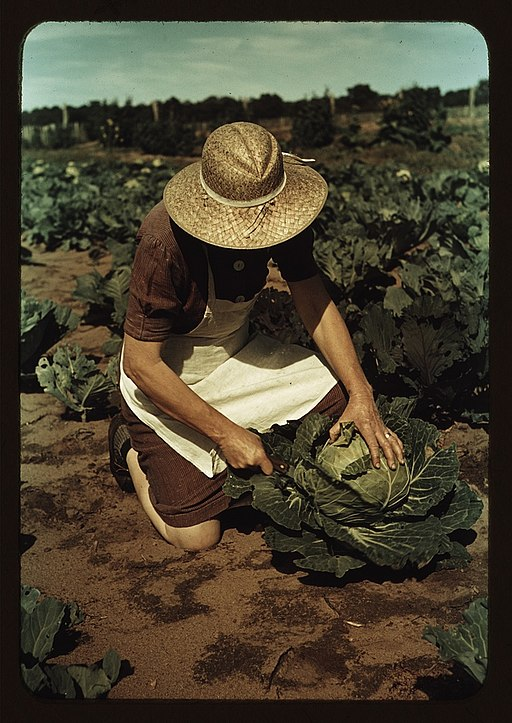 Mrs._Norris_with_homegrown_cabbage_1a34117v.jpg