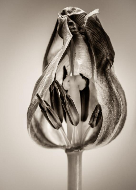 What Lies Beneath: Midlife Tulip