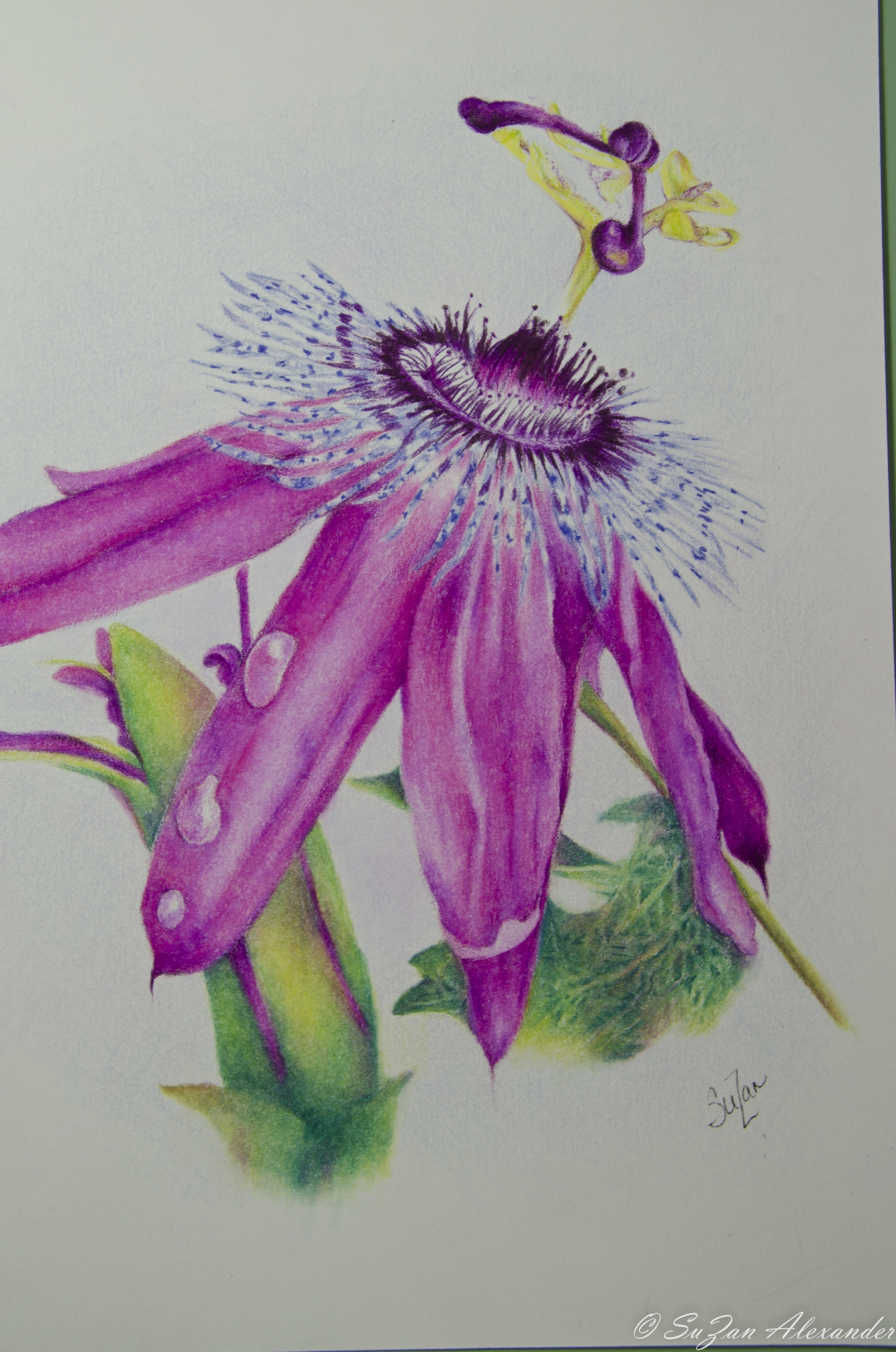 Passion Flower - Colored Pencil © 2012 SuZan Alexander