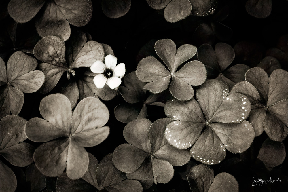 © 2019 SuZan Alexander.   Wood Sorrel BW.   Digital Photography.