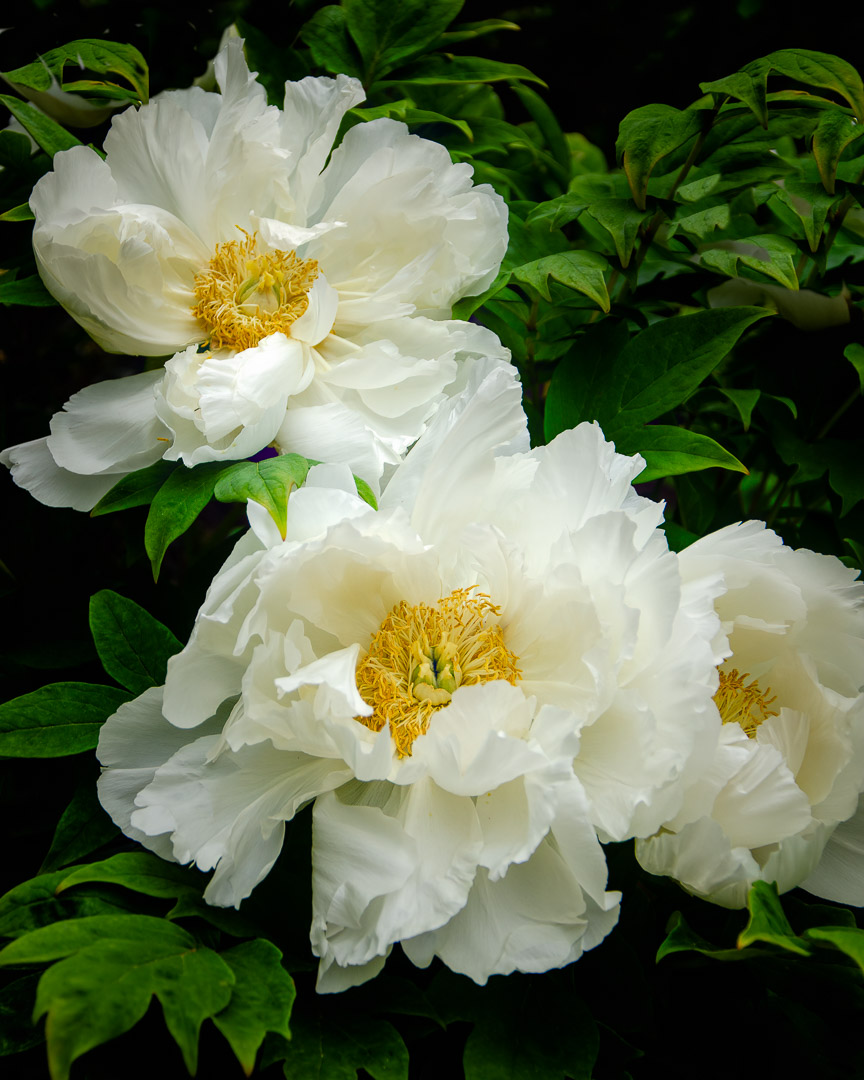 © 2019 SuZan Alexander, White Peonies. Digital Photography