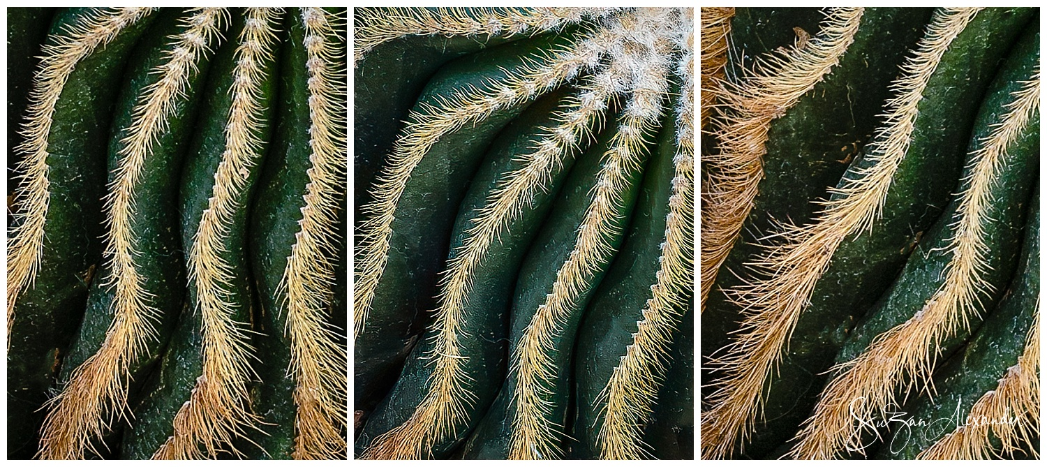 © 2019 SuZan Alexander. Cacti Lines. Digital Photography