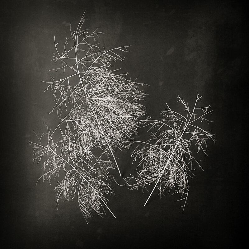 "© 2019 SuZan Alexander,   Fall witchgrass 3  . Digital Photography. 6"" x 6"""