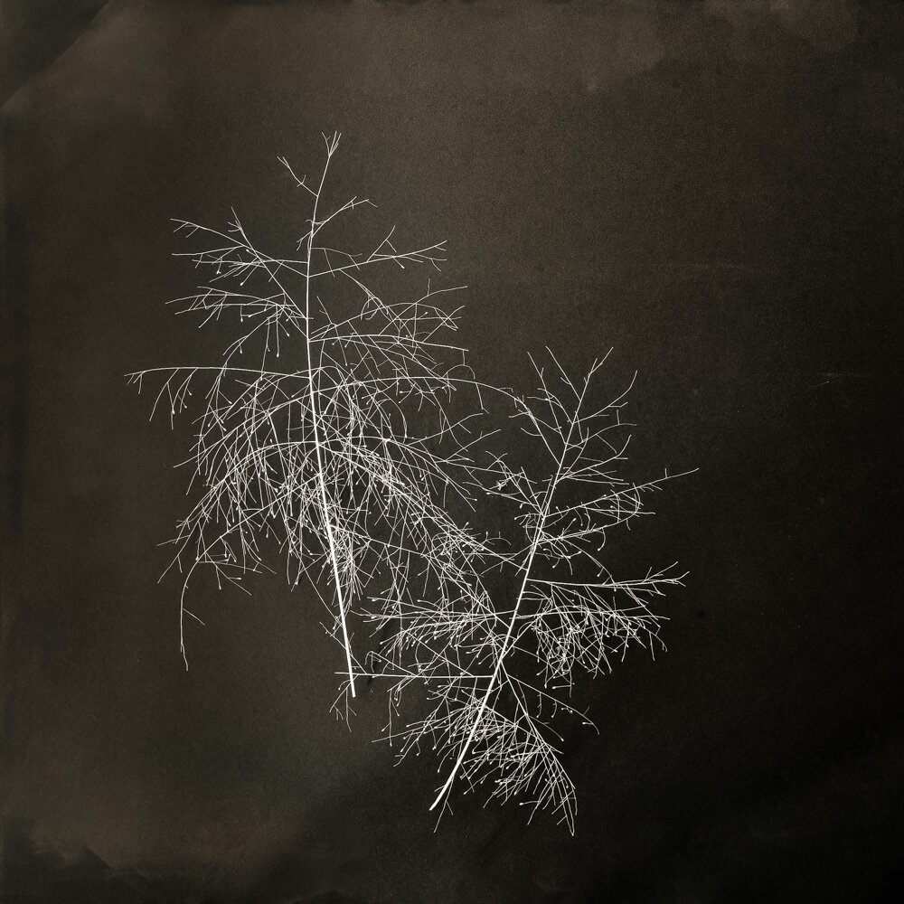 "© 2019 SuZan Alexander,   Fall witchgrass 2  . Digital Photography. 6"" x 6"""