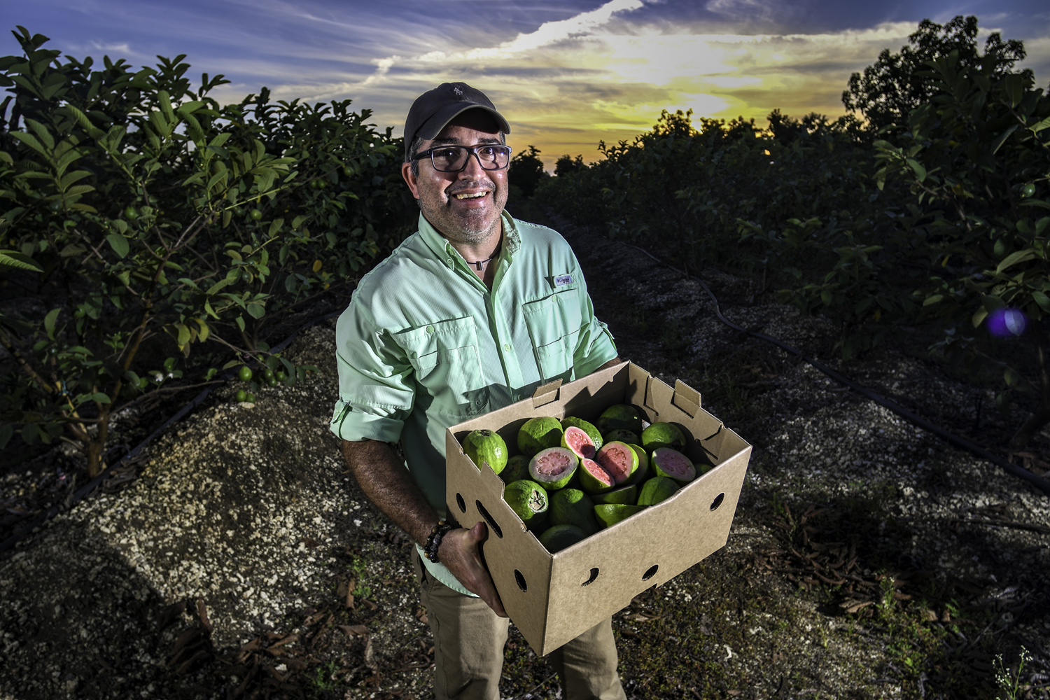 Frank Martinez, owner of A.R. Produce, grows pink guava on 10 acres of his farm in Homestead, Fla. The fruit is native to tropical areas of the Americas, and most of the guavas that are imported into the United States come from places like Brazil, the Dominican Republic and Mexico. Mr. Martinez sees a growing demand for the type of guava he grew up eating in Cuba. PHOTOGRAPHY BY JIM RASSOL
