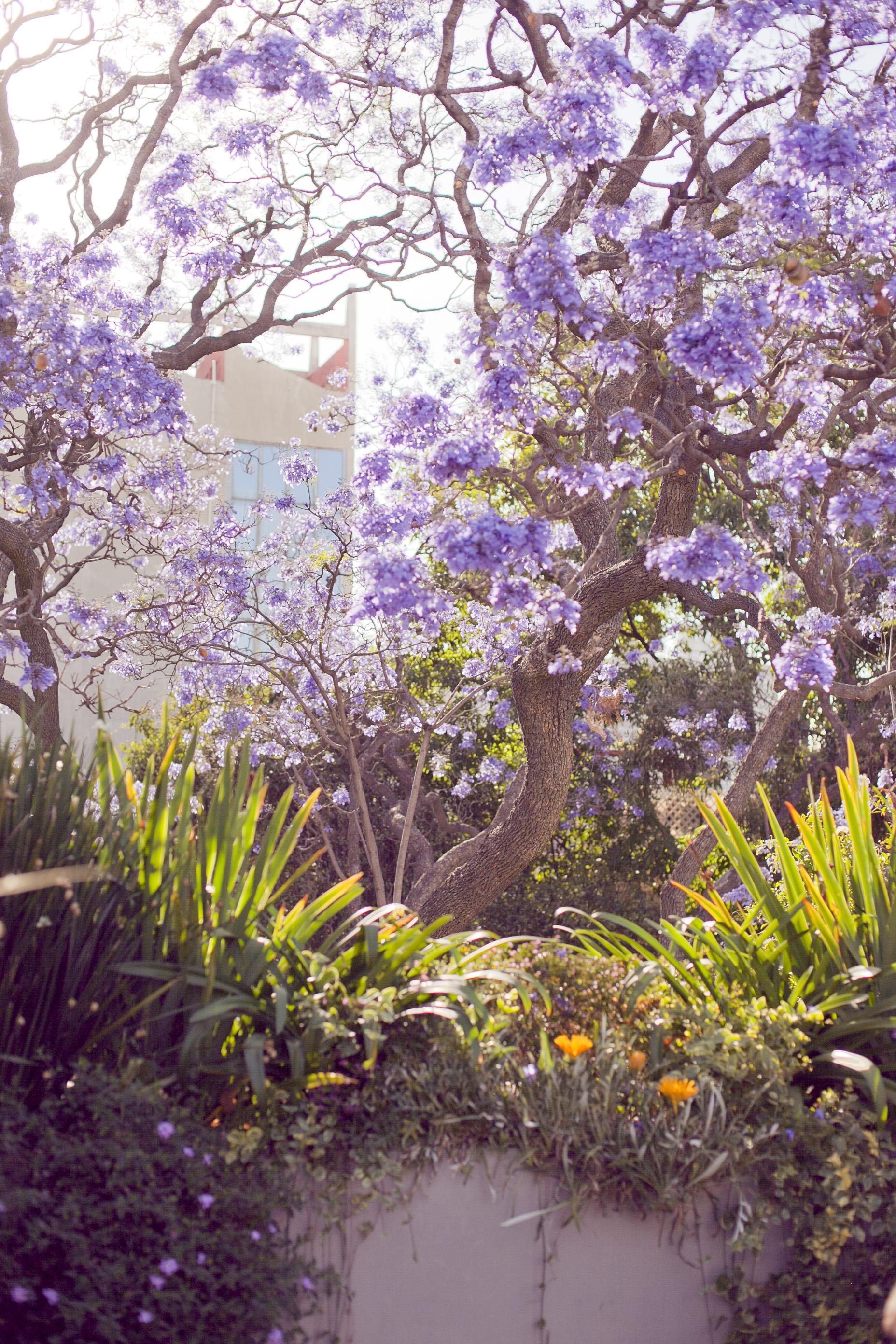 Copy of jacaranda tree in bloom