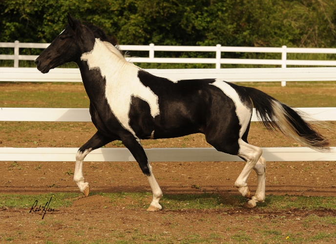Chief Joseph - Abbey Rocky Mountain Horses