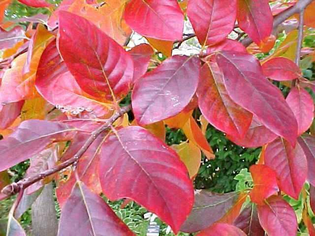 black gum fall foliage.jpg