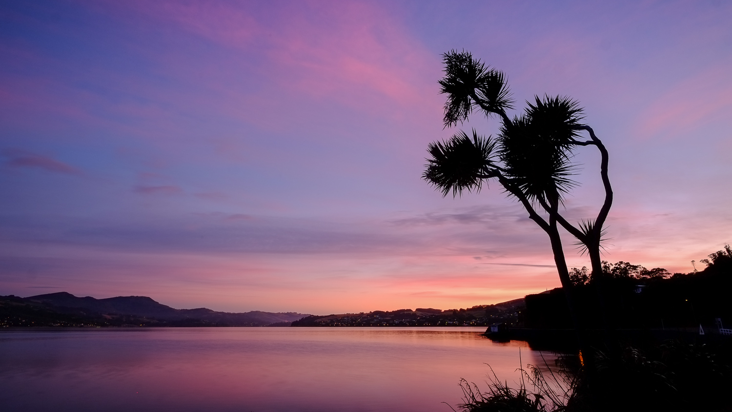 Cabbage Tree - Otago Peninsula