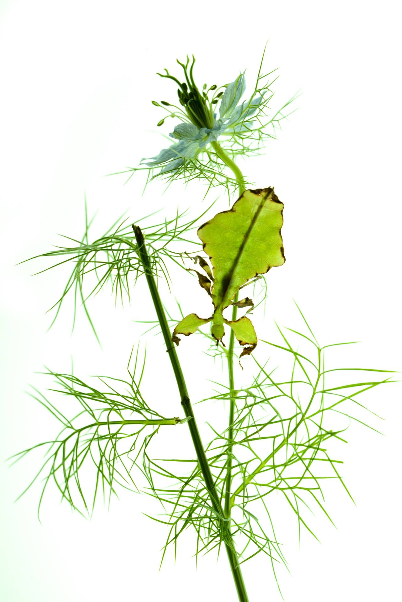 Nigella and Leaf Insect