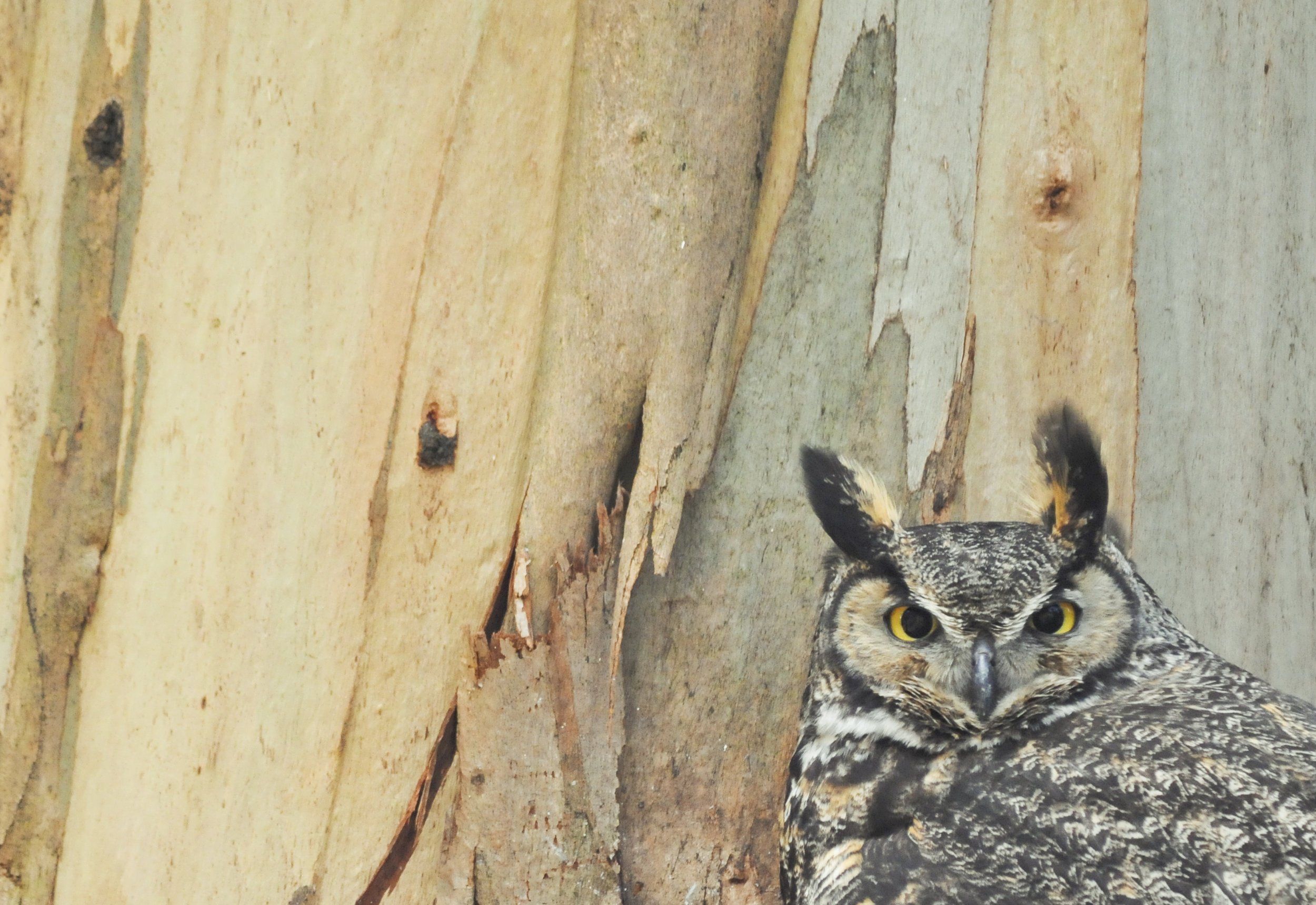 Great Great Great Horned Owl