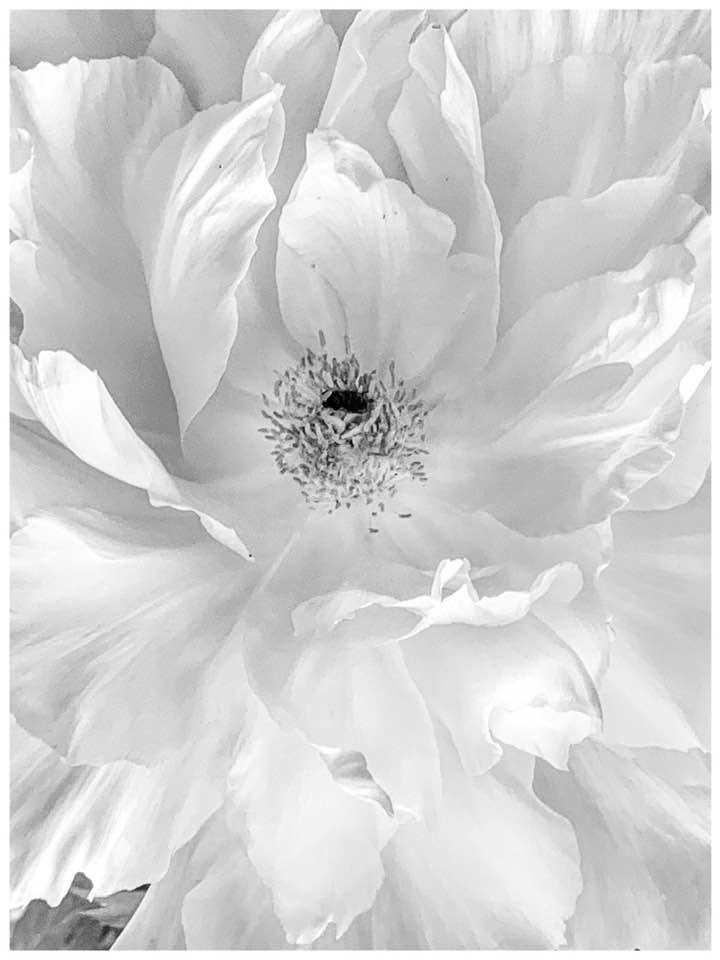 Before we lament the end of cherry blossoms the peonies bloom