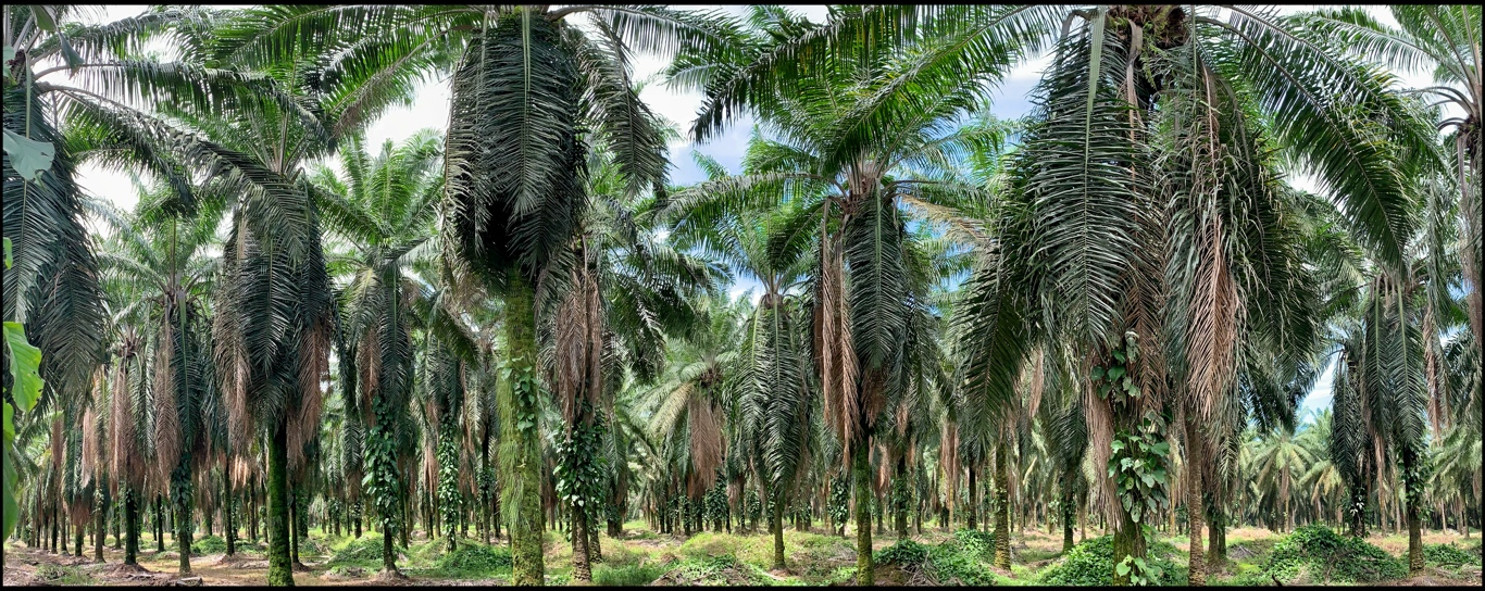 Palm oil plantation by Becky Jaffe.JPG