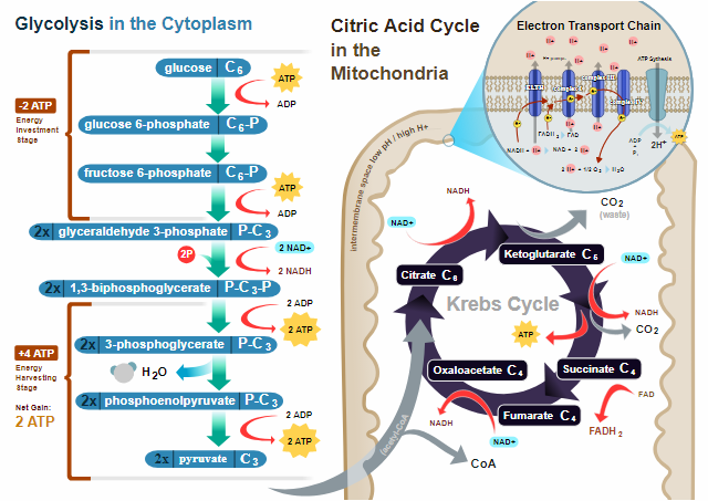 Citric acid cycle as per wikipedia