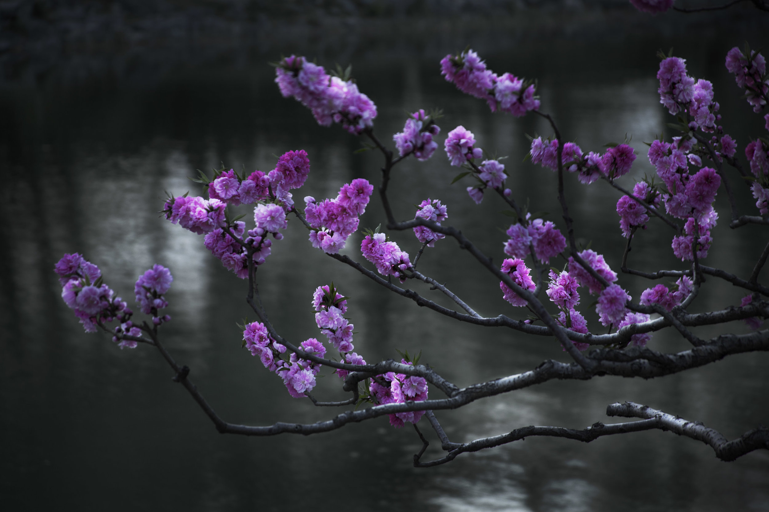 Shen Wei, Cherry Blossoms, 2015, Chromogenic Print, 76.2x114.3cm.JPG