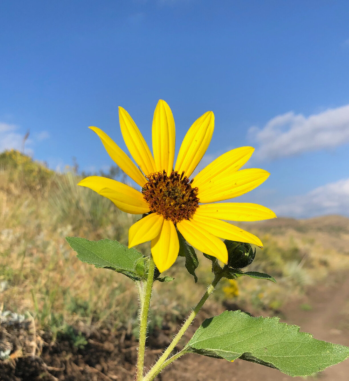 Sunflower crop.jpg